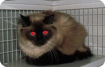 Himalayan Cat for adoption in Gunnison, Colorado - Blue Eyes
