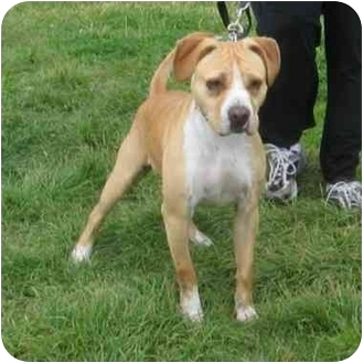 American Pit Bull Terrier Mix Dog for adoption in Berkeley, California - Duffy