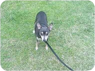 Chihuahua Mix Dog for adoption in Williston, Vermont - Bambi