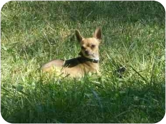 Chihuahua Dog for adoption in Ft. Collins, Colorado - Bruce