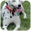 Photo 1 - Dalmatian Dog for adoption in Mandeville Canyon, California - Missy II