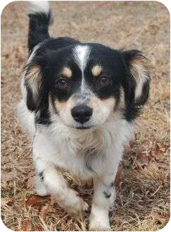 Papillon Mix Dog for adoption in Portland, Maine - Oliver
