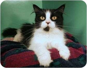 Domestic Longhair Cat for adoption in Phoenix, Oregon - Aramis