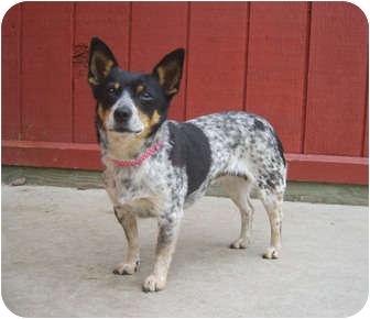 Australian Cattle Dog/Chihuahua Mix Dog for adoption in Austin, Minnesota - Gertie