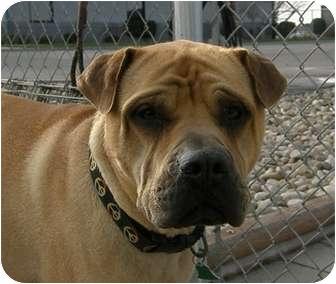 Bullmastiff/Shar Pei Mix Dog for adoption in Meridian, Idaho - Stan