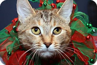 Domestic Shorthair Cat for adoption in Royal Oak, Michigan - SUMMER