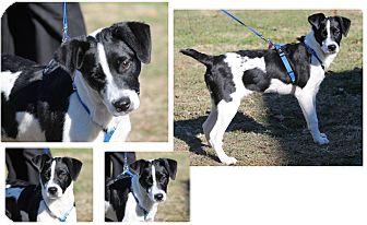 Spaniel (Unknown Type) Mix Puppy for adoption in Haughton, Louisiana - Moo Moo