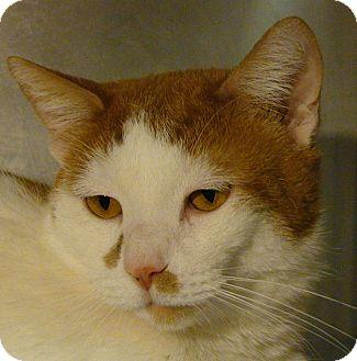 Domestic Shorthair Cat for adoption in El Cajon, California - Tigger