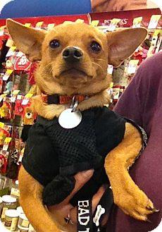 Chihuahua Mix Dog for adoption in Mesa, Arizona - Reggie