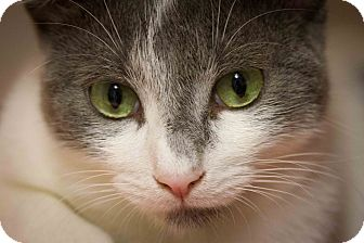 Domestic Shorthair Cat for adoption in Bulverde, Texas - Alvin