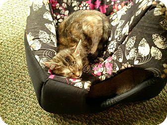 Domestic Shorthair Kitten for adoption in China, Michigan - Daisy - Pending