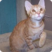 Adopt A Pet :: K-Maddie5-Copper - Colorado Springs, CO