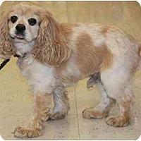 Adopt A Pet :: Kasper - Gilbert, AZ