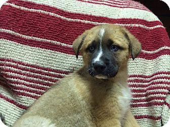 Golden Retriever/Bernese Mountain Dog Mix Puppy for adoption in White Lake, Michigan - Teddy
