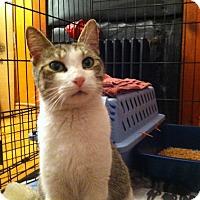 Adopt A Pet :: Kibbie - Brooklyn, NY