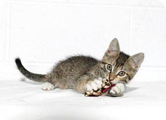 Domestic Shorthair Kitten for adoption in Lufkin, Texas - Buttercup