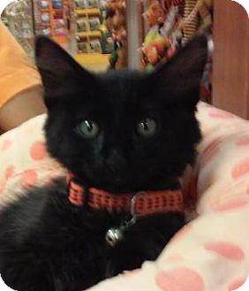 Domestic Longhair Kitten for adoption in Yorba Linda, California - Darth Vader