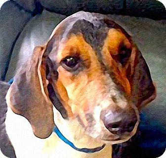 Basset Hound/Beagle Mix Dog for adoption in Maquoketa, Iowa - Benji