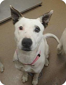 Shepherd (Unknown Type)/Dalmatian Mix Dog for adoption in Las Vegas, Nevada - Dee
