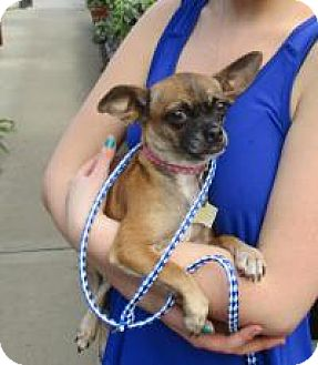 Chihuahua Dog for adoption in Shawnee Mission, Kansas - Auntie Cranberry