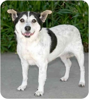 Beagle/Jack Russell Terrier Mix Dog for adoption in Marina del Rey, California - Izzy