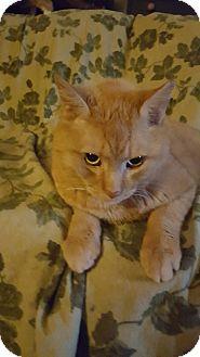 Domestic Shorthair Cat for adoption in Delmont, Pennsylvania - 1Big Al