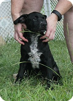 Pit Bull Terrier/Hound (Unknown Type) Mix Puppy for adoption in Nashville, Tennessee - Alfalfa