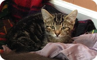 Domestic Shorthair Kitten for adoption in Warren, Michigan - Bruce Banner