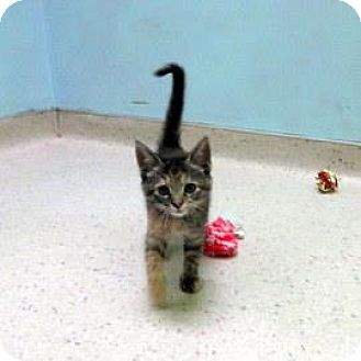 Domestic Shorthair Kitten for adoption in Janesville, Wisconsin - Petrie