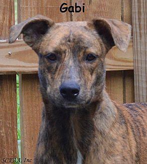Greyhound/Labrador Retriever Mix Dog for adoption in Lake Pansoffkee, Florida - Gabi