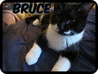 Domestic Shorthair Cat for adoption in Eagan, Minnesota - Bruce