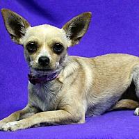 Adopt A Pet :: Gigi - Westminster, CO