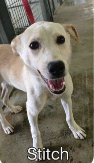 Canaan Dog Mix Dog for adoption in Burlington, Washington - Stitch