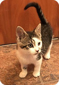 Domestic Shorthair Kitten for adoption in Carlisle, Pennsylvania - BettyCP