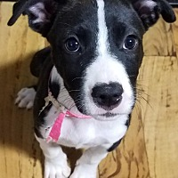 Adopt A Pet :: French Vanilla - Plainfield, IL