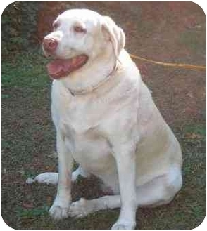 Labrador Retriever Dog for adoption in Cumming, Georgia - Sammie Y