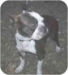 Boston Terrier Dog for adoption in Cole Camp, Missouri - Lucinda