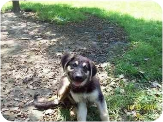 German Shepherd Dog/Husky Mix Puppy for adoption in Brewster, New York - Tonka