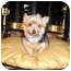 Photo 1 - Yorkie, Yorkshire Terrier Dog for adoption in Choctaw, Oklahoma - Jodie/pending