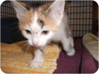 Domestic Shorthair Kitten for adoption in Edwardsville, Illinois - Lana