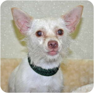 Chihuahua Mix Dog for adoption in Port Washington, New York - Cloud