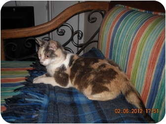 American Shorthair Cat for adoption in Brownsville, Texas - Mini Mouse