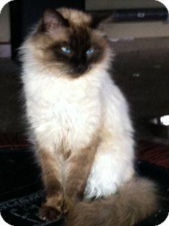 Himalayan Cat for adoption in Huntsville, Alabama - Beau