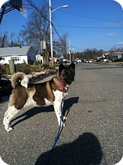 Akita Dog for adoption in Toms River, New Jersey - Maki
