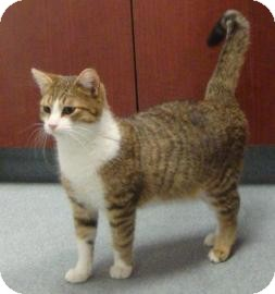 Domestic Shorthair Cat for adoption in Gainesville, Florida - Gaspard