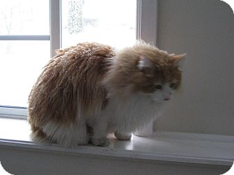 Domestic Longhair Cat for adoption in West Dundee, Illinois - Pumpkin