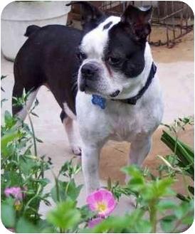 Boston Terrier Dog for adoption in Temecula, California - Bullet
