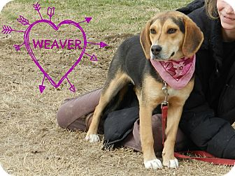 Beagle Mix Dog for adoption in Lawrenceburg, Tennessee - Weaver