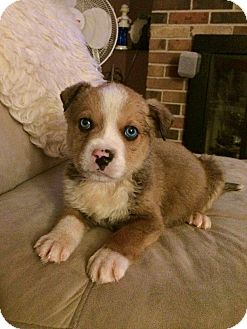 Australian Shepherd Mix Puppy for adoption in Virginia Beach, Virginia - Benz