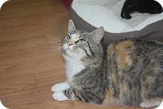 Domestic Shorthair Cat for adoption in St. Louis, Missouri - Henna